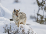 A Coyote Stands Alert in Deep Snow