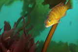 A Cunner  Tautogolabrus Adspersus  Swimming in a Healthy Kelp Forest