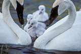 A Pair of Adult Trumpeter Swans Cared for their Newly Hatched Cygnets
