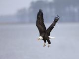 A Bald Eagle  Haliaeetus Leucocephalus  in Flight over Water