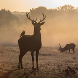 Red Deer Stags Stand in Morning Mist  One with a Crow on His Back