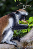 A Young Zanzibar Red Colobus Rests on a Branch Whilst Feeding on a Seed in a Coral Rag Forest