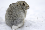 Portrait of a Desert Cottontail Rabbit  Sylvilagus Audubonii  Sitting in Snow