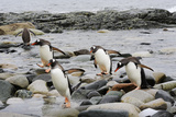A Group of Gentoo Penguins  Pygoscelis Papua  Returning from the Sea
