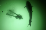 A Bluefin Almost Ten Feet Long Cruises by a Diver as it Searches for Food in the Gulf of Saint Lawr