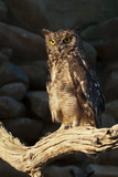 A Captive Spotted Eagle Owl  Bubo Africanus  Perching on a Tree Branch