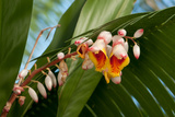 Close Up of the Flowers and Buds of a Shell Ginger Plant  Alpinia Speciosa