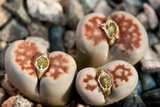 Close Up of Living Stone Plants  Lithops Species  with Fruit in their Centers