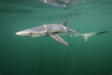 A Blue Shark  Prionace Glauca  with Plastic Strap Wound around and Cutting into its Body