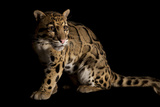 A Federally Endangered Clouded Leopard  Neofelis Nebulosa