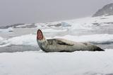 A Leopard Seal  Hydrurga Leptonyx  Resting on an Ice Floe
