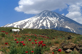 Poppies Growing Near Mount Damavand  a Live Volcano and the Highest Peak in the Middle East