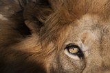 Close Up of a Male Lion's Eye  Panthera Leo