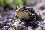 A Frog Sits in the Gravel Strip Among the High Meadow Grasses Along a Dry Stream Channel