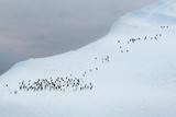 A Large Flock of Adelie Penguins  Pygoscelis Adeliae  on an Iceberg