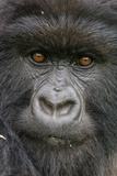 Portrait of a Mountain Gorilla  Gorilla Beringei Beringei  a Member of the Amahoro Group