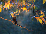 A Western Jackdaw  Corvus Monedula  on a Branch at Sunrise