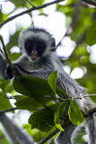 A Zanzibar Red Colobus Infant Playing in the Canopy of a Coral Rag Forest