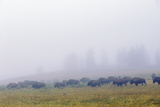 A Herd of Bison in the Early Morning Fog of Hayden Valley