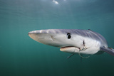 Close Up Portrait of a Blue Shark  Prionace Glauca  with a Fishing Hook in its Jaw