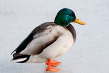 Portrait of a Mallard Drake  Anas Platyrhynchos  Standing on a Frozen Pond