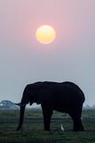 An Egret Stands Underneath an African Elephant Feeding on a Grass Island at Sunset