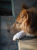 A Mixed Collie Resting on an Old Wooden Porch