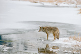 A Coyote Pauses before Crossing a Pond in the Lamar Valley