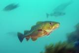 Portrait of an Atlantic Cod  Gadus Morhua  Swimming