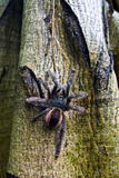 A Rose Haired Tarantula Ascending a Tree Trunk in the Amazon Rainforest