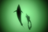 A Bluefin Almost Ten Feet Long Cruises by a Diver in the Gulf of Saint Lawrence
