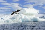 A Cormorant Flying Past an Iceberg