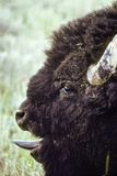 A Bison Vocalizes During Rutting Season by Sticking Out its Tongue to Expel Air