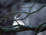 A Robin on a Tree Branch at Sunrise in Winter