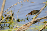 Portrait of a Green Heron  Butorides Virescens  Hunting from a Tree Branch over Water