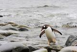 A Gentoo Penguin  Pygoscelis Papua  Returning from the Sea