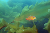 A Cunner  Tautogolabrus Adspersus  Swimming Through a Healthy Kelp Forest
