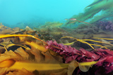 Waving Kelp Fronds in the Northern-Most Kelp Forest in the Atlantic Ocean