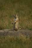 A Black-Tailed Prairie Dog  Cynomys Ludovicianus  at the Entrance to its Burrow