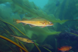 Atlantic Cod Fish  Gadus Morhua  Swimming Through a Kelp Forest