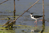 Portrait of a Black-Necked Stilt  Himantopus Mexicanus  Hunting in Water