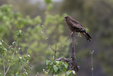 A Black Kite  Milvus Migrans  Perched on a Dead Tree Branch