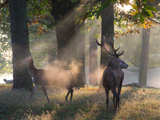 A Red Deer Stag and a Doe Wait in the Early Morning Mists in Richmond Park in Autumn