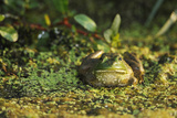 Portrait of a Bullfrog  Rana Catesbeiana  Among Duckweed  Lemma Minor  and Other Plants