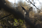 A White-Tailed Deer Doe  Odocoileus Virginianus  Peering Through the Trees