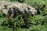 A Golden Jackal Hunting for Prey on the Short Grass Savannah Plain