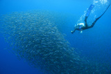 A Diver with a Baitball of Sardines Being Herded by Bluefin Tuna