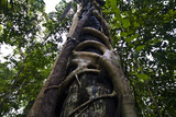 A Strangler Fig Wraps Large Woody Fingers around the Trunk of a Rainforest Tree for Support