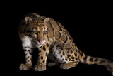 A Clouded Leopard  Neofelis Nebulosa