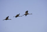 An Endangered Whooping Crane Family Migrating Petroleum Products Stains their Bellies